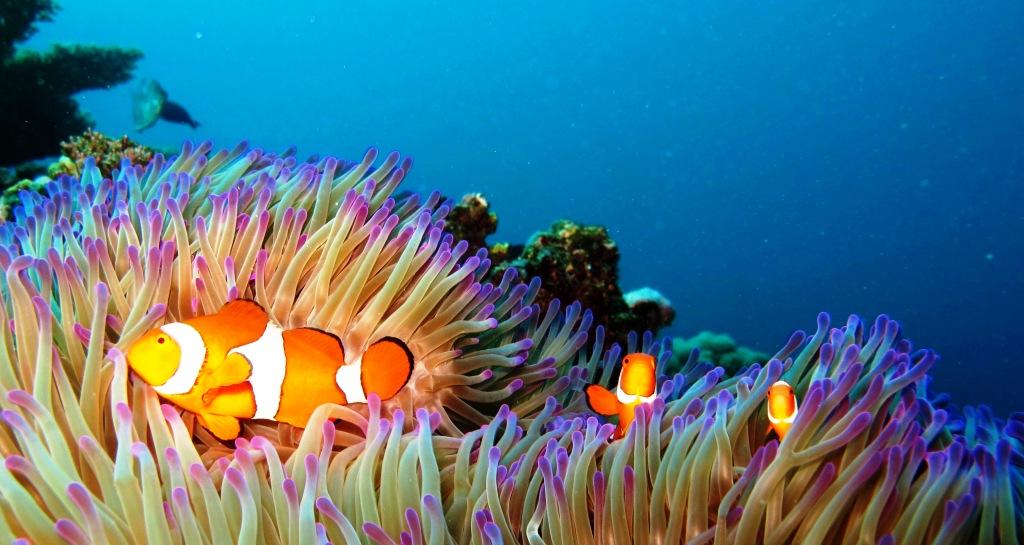 Clown Anenome fish great barrier reef port douglas